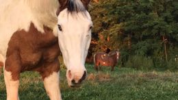 Pinto Paint (Tobiano) in King Ferry, NY