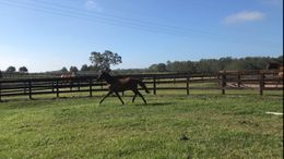 Bay Warmblood in Reddick, FL
