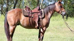 Roan Quarter Horse in San Angelo, TX