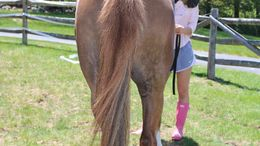 Chestnut Welsh Cob in Mooresville, IN