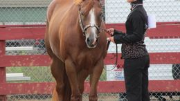 Sorrel Quarter Horse in Roseville, OH