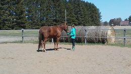 Chestnut Quarter Horse in Aurora, MN
