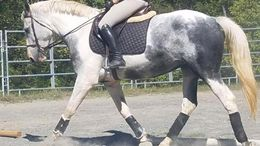 Grey Canadian Warmblood in Warrenton, VA