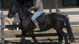 Black Friesian in Dell City, TX