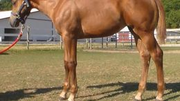 Sorrel Quarter Horse in Chillicothe, IL