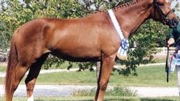 Chestnut Hanoverian in Kinmundy, IL