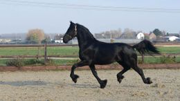 Black Friesian in Sherwood	Defiance, OH