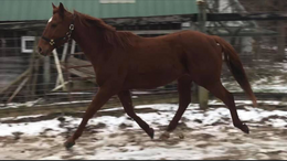 Chestnut Thoroughbred in Corydon, IN