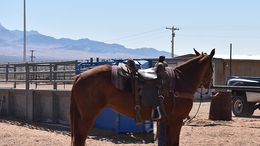 Sorrel Quarter Horse in Scenic, AZ