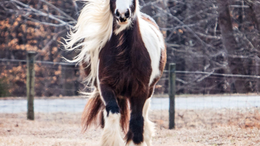 Other Gypsy Vanner in Durham, NC