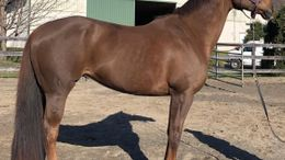 Chestnut Trakehner in Wall, NJ