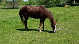 Sorrel Tennessee Walker in Sylvania, OH