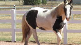 White Gypsy Vanner in Strawberry, AZ