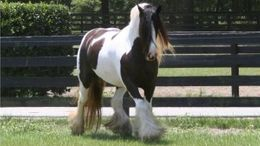 Black Gypsy Vanner in Charlton City, MA