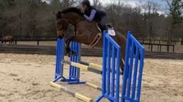 Bay Irish Sport Horse in Aiken, SC