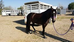 Bay Quarter Pony in Perris, CA