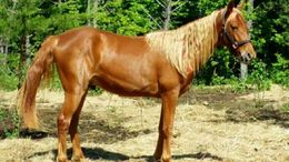 Chestnut Tennessee Walker in Lincolnton, NC