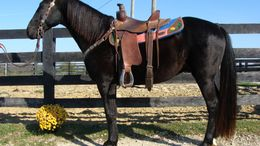 Black Kentucky Mountain Saddle Horse in FLEMINGSBURG, KY