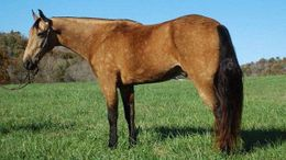 Buckskin Tennessee Walker in Charleston, WV