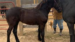 Black Friesian in Potosi, MO