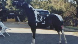 Pinto National Show Horse in Placerville, CA