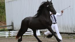Black Friesian in Amenia, NY