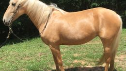 Palomino Missouri Fox Trotting Horse in Fort Mill, SC