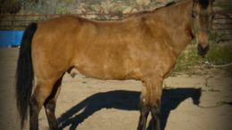 Bay Tennessee Walker in Congress, AZ