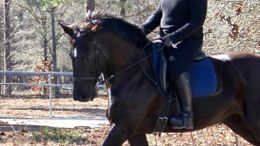 Black American Warmblood in Aiken, SC