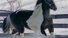 Pinto Irish Sport Horse in Randolph, MN