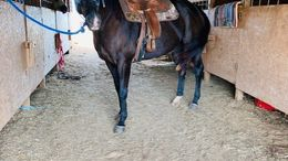 Black Quarter Horse in Talledega, AL