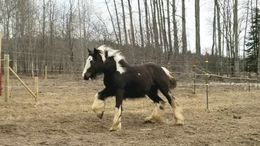 Black Gypsy Vanner in Boyne city, MI