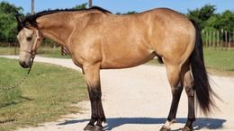 Buckskin Quarter Horse in Saint Louis, MO