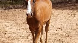 Chestnut Quarter Horse in McDonough, GA