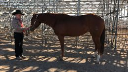 Sorrel Quarter Horse in Brigham City, UT