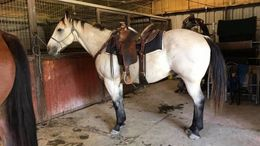 Buckskin Quarter Horse in Beaverton, OR