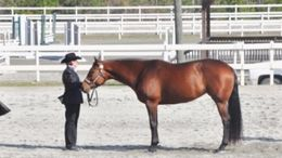 Bay Quarter Horse in Rembert, SC