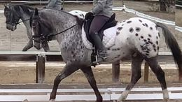 Black Appaloosa in Syracuse, NY