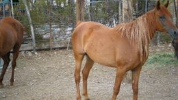 Chestnut Arabian in Wikieup, AZ