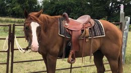 Chestnut Quarter Horse Cross in College Station, TX
