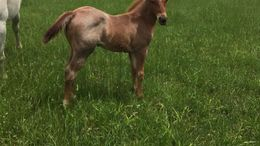 Roan Quarter Horse in Winterset, IA
