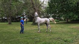 Grey Arabian in Dewey, IL