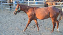 Sorrel Quarter Horse in Phoenix, AZ