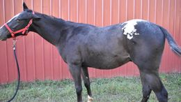 Other Appaloosa in Dawsonville, GA