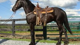 Black Friesian in FLEMINGSBURG, KY