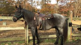 Roan Quarter Horse in Central Islip, NY