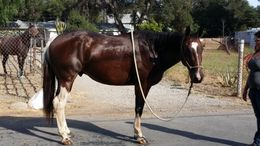 Brown Quarter Horse in Mendocino, CA