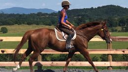 Chestnut Thoroughbred in PENN LAIRD, VA