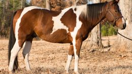 Bay Paint (Tobiano) in Frankston, TX