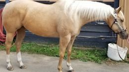 Palomino Quarter Horse in Fayetteville, Woolsey, GA